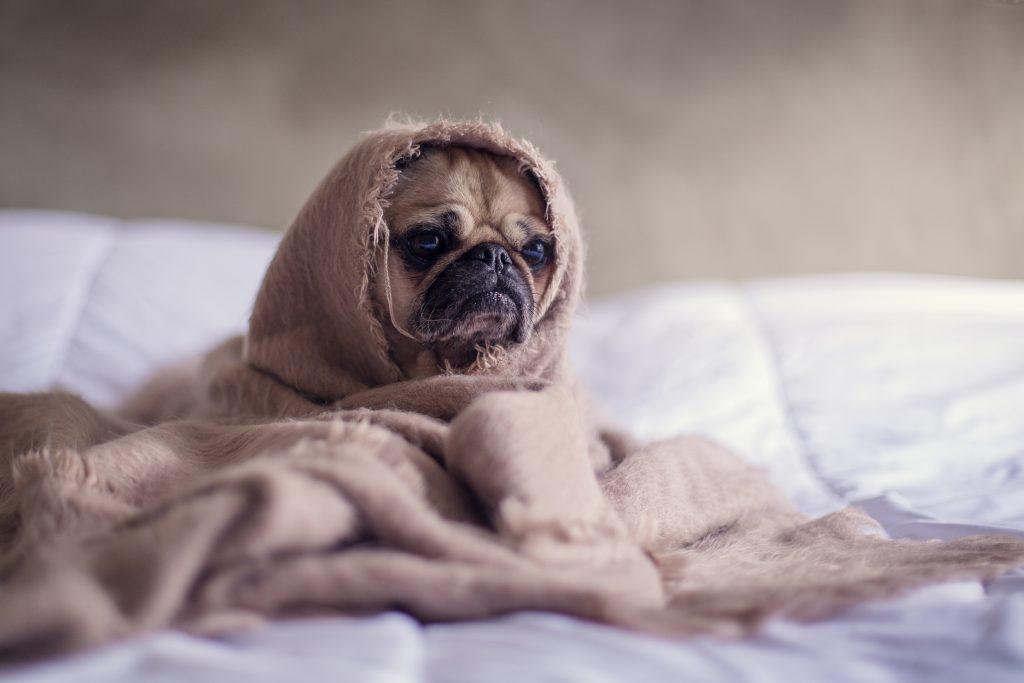 meer beweging op de werkvloer - pug in bed